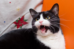 Angry black and white cat. An angry black and white cat expressing her dissatisfaction royalty free stock photos