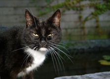 Angry black and white cat Royalty Free Stock Photography