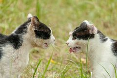 Angry black and white cats looking and grin at each other at the fight break stock images