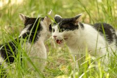 Cat fight for the territory. Green blurred background royalty free stock photography