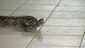 Angry Boa Constrictor Python on floor, Costa Rica. Close-up low angle panning shot of a huge angry boa constrictor python on a zoo floor with head raised and stock video footage