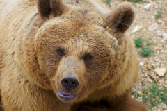 Angry Brown Bear Portrait Stock Images