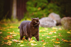 Angry brown cat outdoors Stock Photo