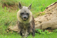 Angry brown hyena. Strolling in the grass royalty free stock photos