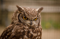 Angry brown long-eared owl Royalty Free Stock Photography