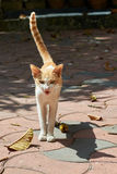 Angry brown and white cat snarling with its tail in the air Royalty Free Stock Photography