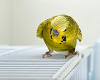 Angry Budgie. A angry looking budgie sitting on top of cadge Stock Photo
