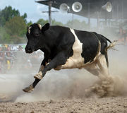 Angry Bull. A Fresian Bull on the Run at a Rodeo Royalty Free Stock Photo