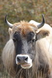 Angry bull. Taken in CHina, xinjiang province Royalty Free Stock Photography