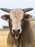 Angry Bull. Large Angry Bull in a stare down stock photography