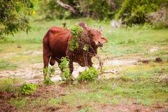 Angry bull. Attack bushis at Yala park, Sri Lanka stock photo