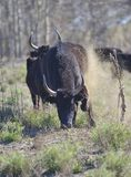 Angry bull (Camargue bull) Royalty Free Stock Photo