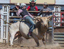 Angry Bull. A cowboy rides an angry bull  at the Cottonwood Rodeo in Northern California Royalty Free Stock Photo