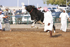 Angry Bull. Getting ready for the weekly bull fighting in Fujeirah in the United Arab Emirates Stock Images