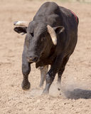 Angry Bull Headed My Way. An angry bull is headed right towards the camera The rodeo in Cottonwood, California is a popular event on Mother's Day weekend in this Stock Image