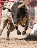 Angry Bull Headed My Way. An angry bull is headed right towards the camera The rodeo in Cottonwood, California is a popular event on Mother's Day weekend in this Royalty Free Stock Photos