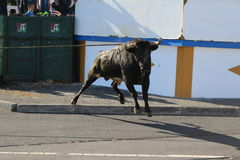 An angry bull is let loose. A bull is released in a village center of Terceira, Portugal during the Sanjoaninas. While several men try to hold the end of the Stock Photos