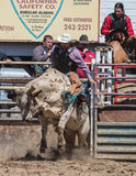Angry Bull. A bull rider takes a ride Stock Photos