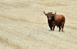 Bull in spain with big horns. Angry bull in spain with big horns in spanish bullring stock photos