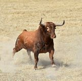 Bull in spain with big horns. Angry bull in spain with big horns in spanish bullring stock image