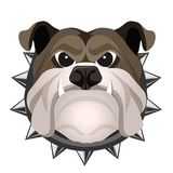 Angry bulldog face in metal collar vector realistic illustration. Head of grown up canin medium-sized breed with wrinkled face and evil tooth smile Royalty Free Stock Image