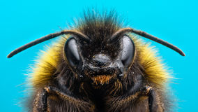Angry Bumblebee. Extreme macro of bumblebee with blue background Stock Image