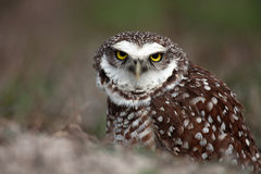 Angry Burrowing Owl Stock Photo