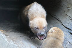 Angry bush dog. In the shelter royalty free stock image