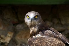 Angry buzzard Royalty Free Stock Photography
