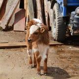 Angry Calf Stock Photo