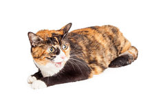 Angry Calico Cat Hissing Royalty Free Stock Photos