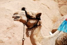 Angry Camel Royalty Free Stock Photo