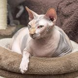 Angry Canadian Sphynx cat Stock Photo