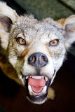 Angry canine. Fierce coyote with teeth bared glaring at the camera Stock Images