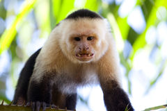 Angry capuchin monkey Royalty Free Stock Images