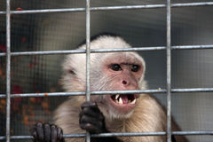 Angry Capuchin Monkey Royalty Free Stock Photos
