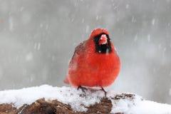 Angry Cardinal Stock Image