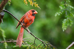 Angry Cardinal in the Rain Stock Photography