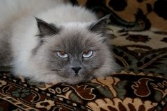 Angry cat. In house,Russia,gray cat Royalty Free Stock Images
