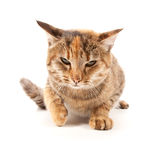 Angry cat. Isolated on a white background royalty free stock photography