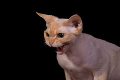 Angry Cat. On a black background stock photo