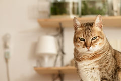 Angry cat. With unhappy expression standing on desk in home royalty free stock images