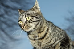 Angry cat. A grey angry striped cat Royalty Free Stock Photography