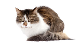 Angry cat. Over white background stock image