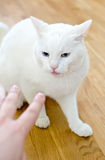 Angry cat. Man's hand trying to touch angry cat royalty free stock images