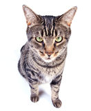 Angry cat. Tabby cat  on white background Royalty Free Stock Image
