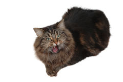 Angry cat. Close-up Royalty Free Stock Photography