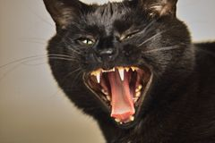 Angry Cat. A black cat growling with anger stock image