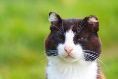 Angry cat. The experienced peeled malicious cat royalty free stock photography