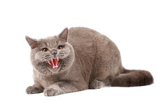 Angry Cat Stock Images